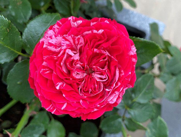 dofe-rose