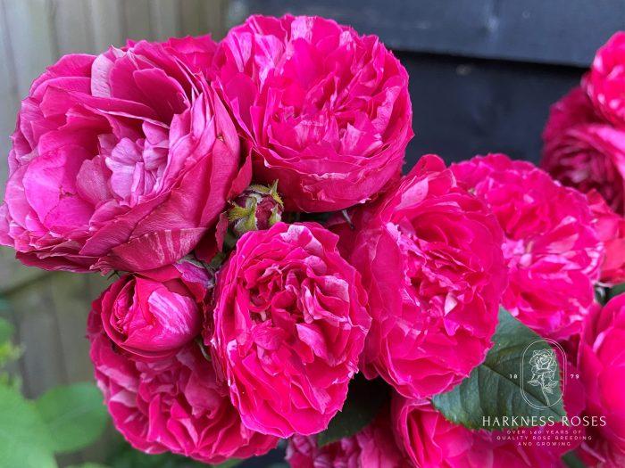 DofE Harkness pink rose